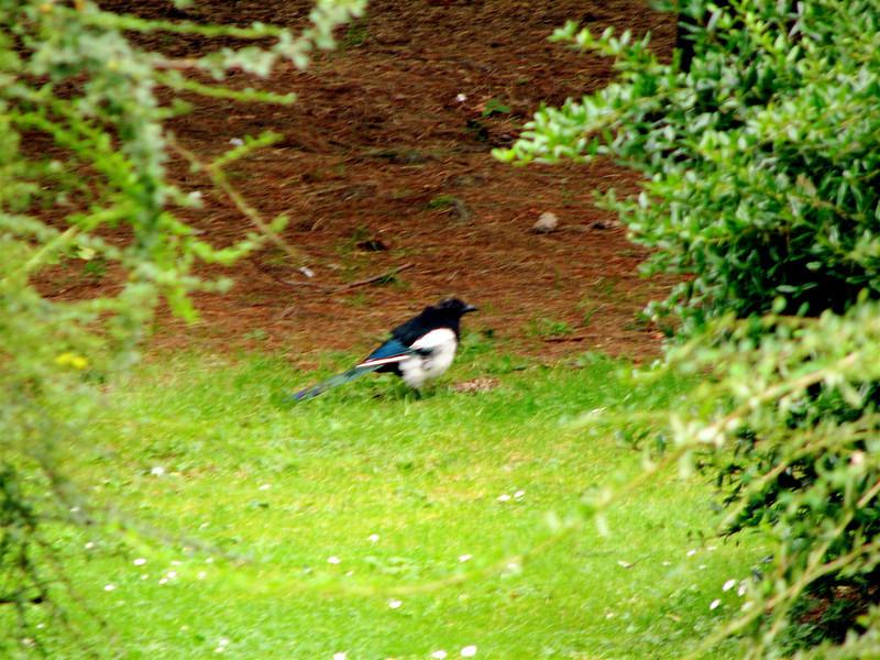 magpie Edinburgh Botanical Gardens