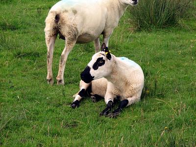 Sheepie!