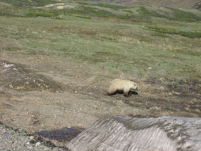 One of many grizzly sightings in Denali.