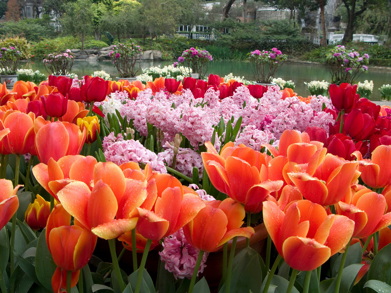 Tulips at Hong Kong Park<br /> <br /> Copyright 2008 Adam Brown