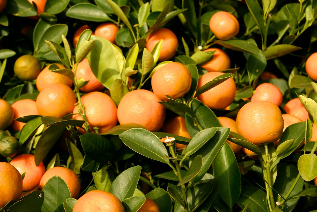 The Po Lin Monastery has many wonderful miniature orange trees around it.