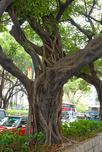 Valuable old tree in Hong Kong.