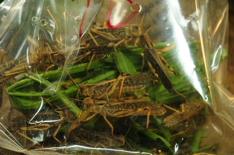 Bird feed, live locusts, yum!