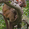 Younge Rhesus Macaque Monkeys in Kam Shan Country Park