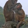 Monkeys in Kas Shan Country Park, HK