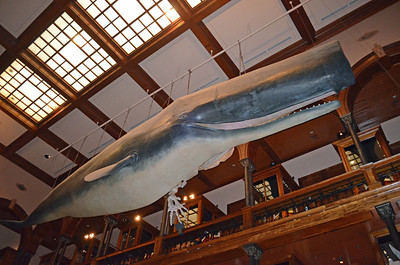 Blue Whale Model Overhead