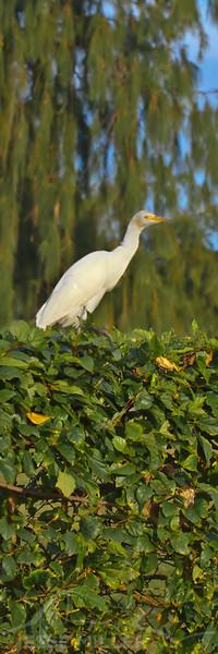 Cattle Egret - North Shore, Oahu