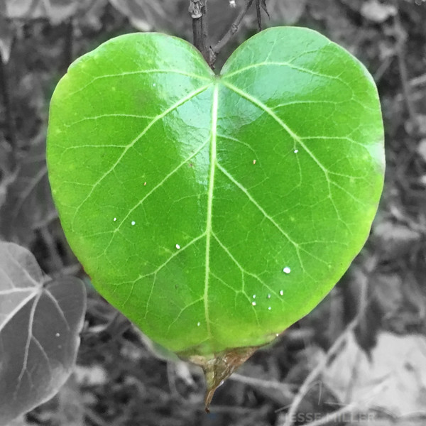 Thespesia populnea – Milo Tree - Honolulu, Oahu