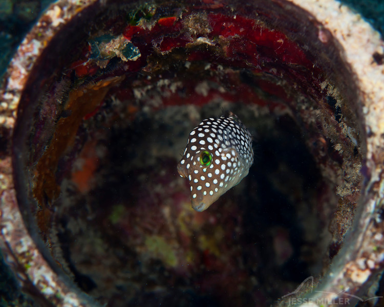 Hawaiian White Spotted Puffer - Dive 4 - Rojo Reef