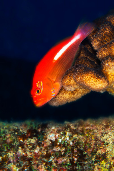 Arc-Eye Hawkfish - Dive 5 - Sea Tiger