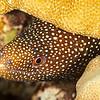 Whitemouth Eel - Dive 6 - Kewalo Pipe