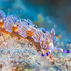 Blue Dragon Nudibranch - Dive 3 - Sea Tiger