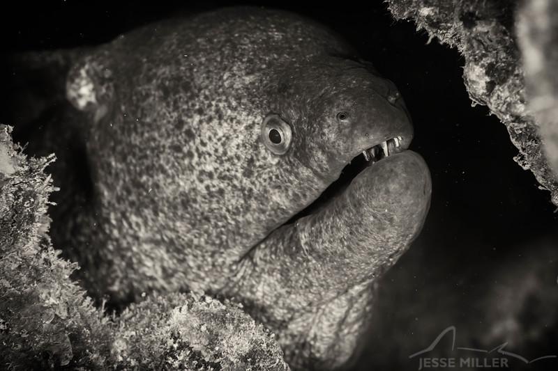 Yellowmargined Moray Eel - Dive 1 - YO-257 / San Pedro