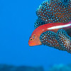 Arc-Eye Hawkfish - Dive 2 - Sea Tiger