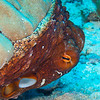 Day Octopus - Dive 6 - Kewalo Pipe
