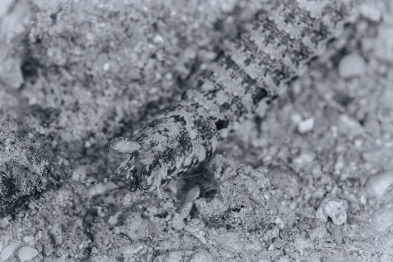 Mantis Shrimp - Dive 4 - Rojo Reef