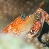 Hawaiian Swimming Crab - Dive 4 - Rojo Reef