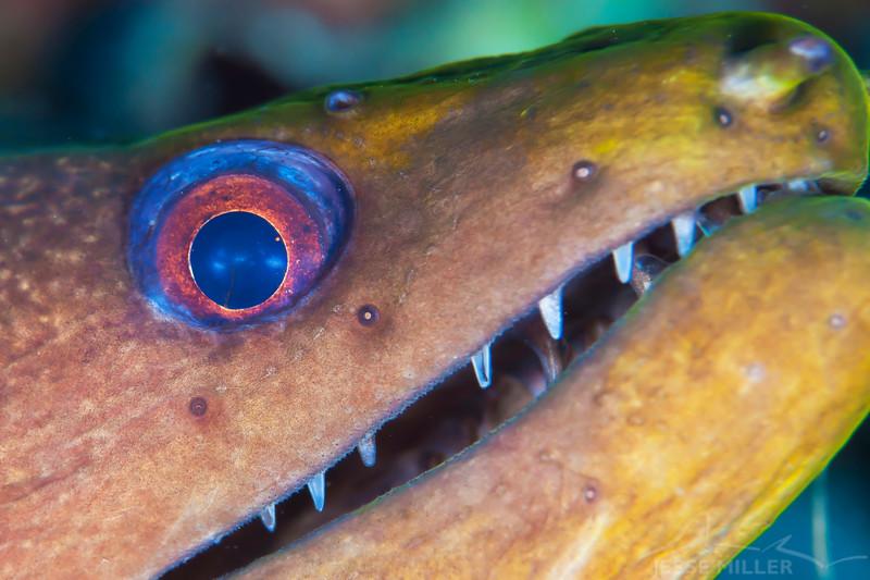Moray Eel - Dive 2 - Sea Tiger