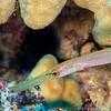 Trumpetfish - Dive 6 - Kewalo Pipe