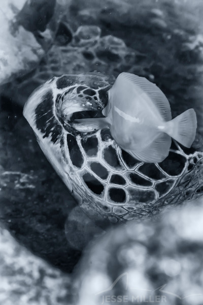 Hawaiian Green Sea Turtle - Dive 2 - Sea Tiger