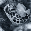 Hawaiian Green Sea Turtle - Dive 2 - Sea Tiger