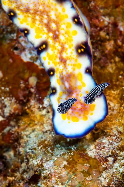 Imperial Nudibranch - Dive 6 - Kewalo Pipe