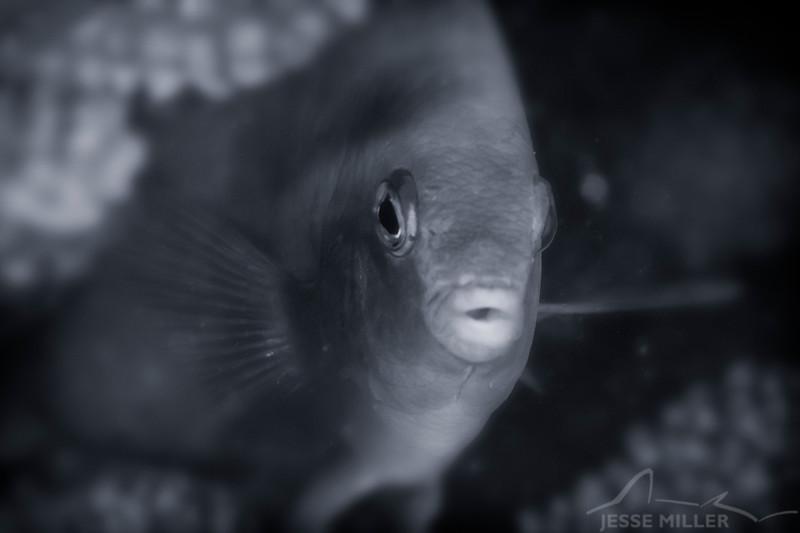 Damselfish - Dive 4 - Rojo Reef
