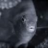 Damselfish - Dive 4 - Rojo Reef
