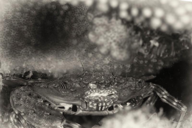 Hawaiian Swimming Crab - Dive 4 - Rojo Reef
