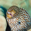 Whitemouth Moray Eel - Dive 6 - Kewalo Pipe