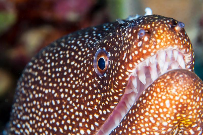 Whitemouth Moray Eel - Dive 6 - Kewalo Pipe
