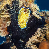 Trembling Nudibranch - Dive 3 - Sea Tiger