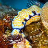 Imperial Nudibranch - Dive 6 - Kewalo Pipe