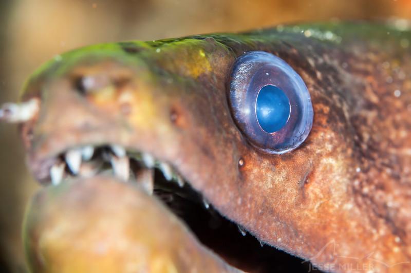 Moray Eel - Dive 3 - Sea Tiger
