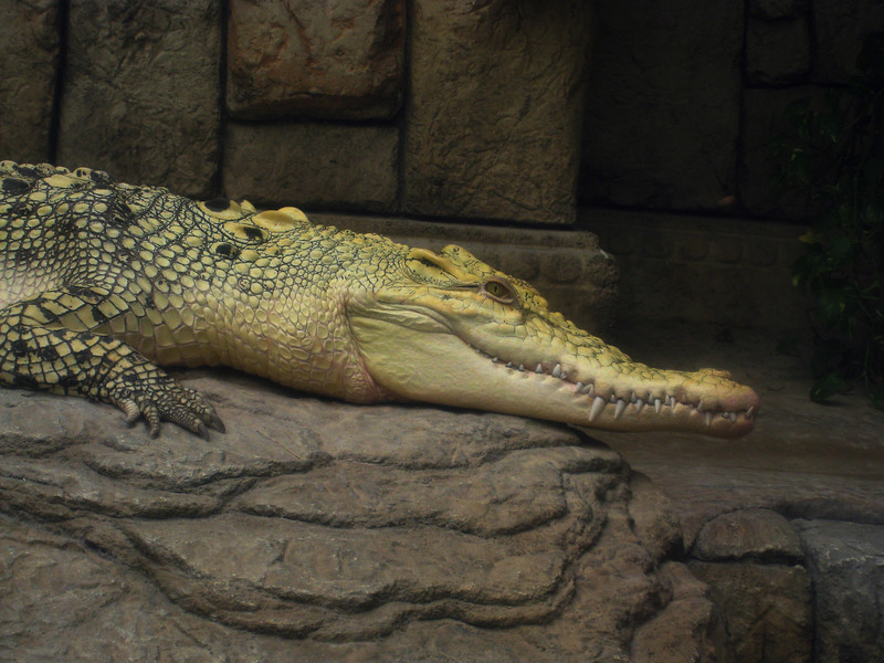 Crocodile (or is it an alligator?) in a zoo inside one of the casinos
