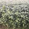Soybeans next door