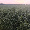 Sunset over the Soybeans