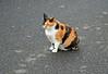 Calico Cat at Horta