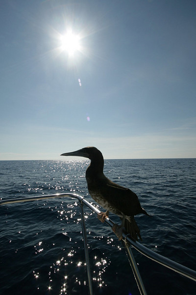 While Fred fought a Tuna fish, this Brown Booby stopped to take a break on the boat railing.