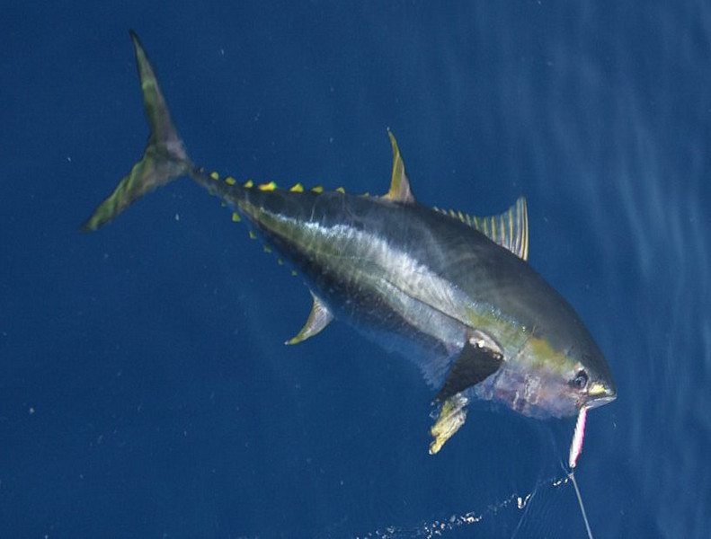 This Yellowfin Tuna was one of seven boated before running close to shore in search of Rooster Fish.
