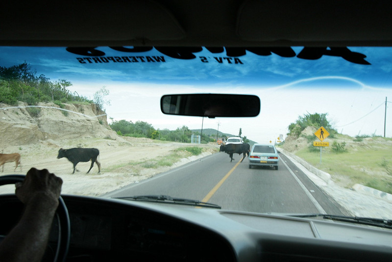 Cattle, wild horses and many other large animals roam freely through out the Baja peninsula.