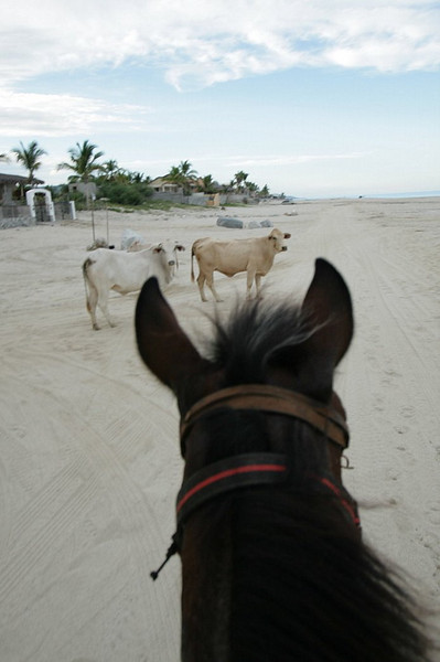 Cows roam freely thou out the villages and even on the beach.