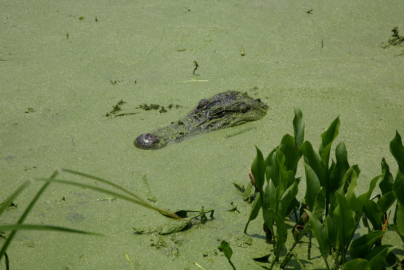 Alligators lie in shallows during the heat of the day.
