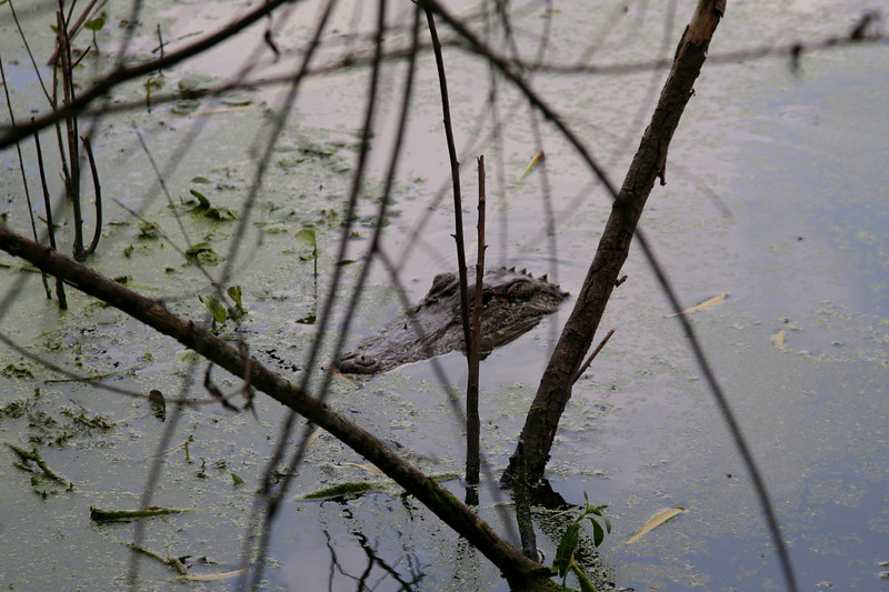 Alligators sit atop the food chain, and have taken adult deer.