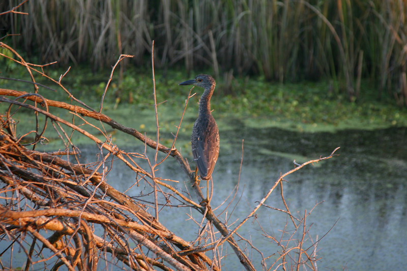 Gray night heron is a loner.