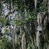 Moss-draped live oaks.