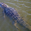Baby alligator eater is 10 feet long.