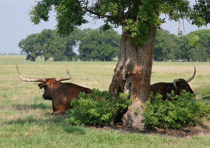 Huge bulls are dangerous, aggressive and unpredictable.