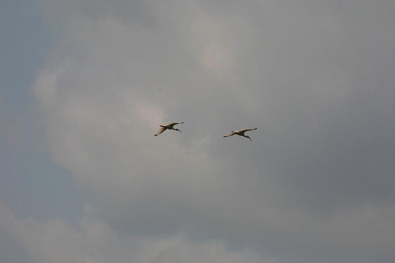 Roseate Spoonbills.