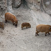 AFRICAN RED RIVER HOGS